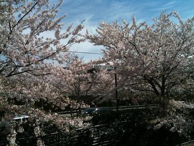 Sakura0415b